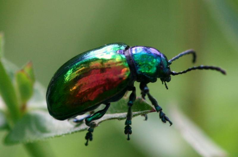 Colorful horned beetle - photo#19