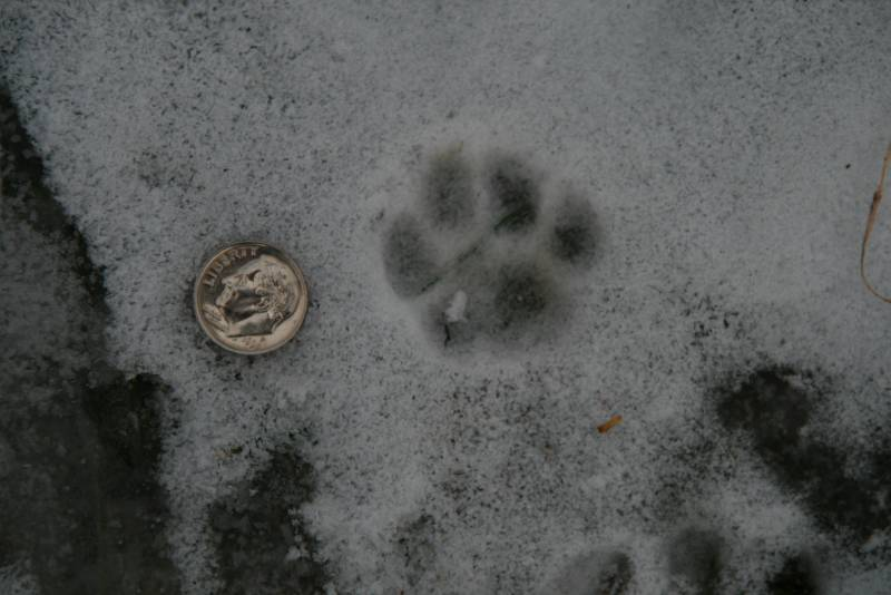 The Gallery For House Cat Tracks In Snow